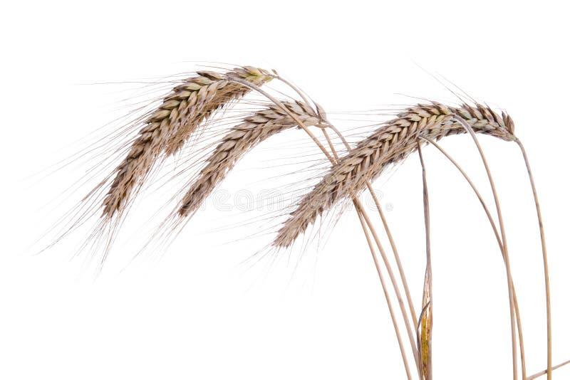 Oídos maduros del trigo en un fondo blanco imágenes de archivo libres de regalías