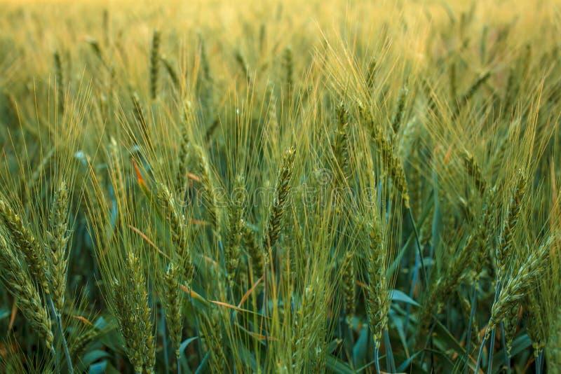 Oídos magníficos de la cebada de la élite en el campo Publicidad de los fertilizantes para los granjeros, las agro-compañías y la imágenes de archivo libres de regalías