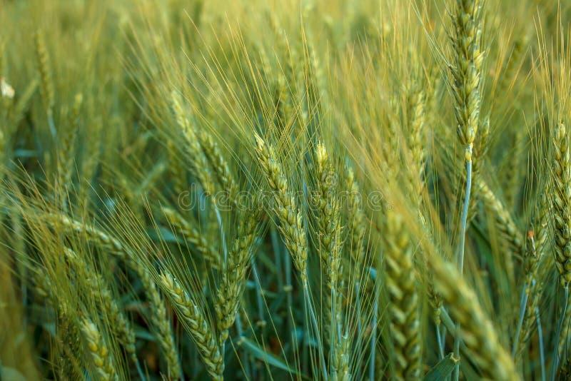Oídos magníficos de la cebada de la élite en el campo Publicidad de los fertilizantes para los granjeros, las agro-compañías y la foto de archivo