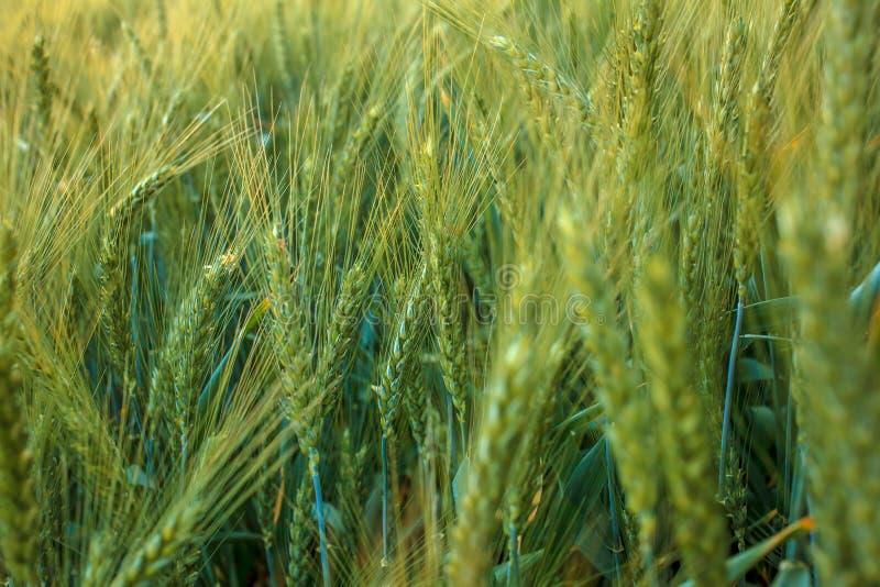 Oídos magníficos de la cebada de la élite en el campo Publicidad de los fertilizantes para los granjeros, las agro-compañías y la imagen de archivo