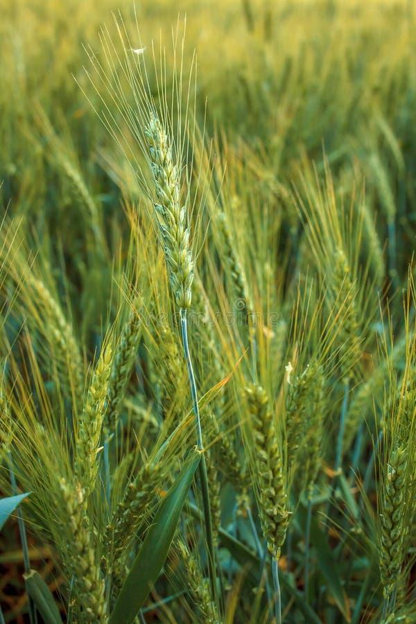 Oídos magníficos de la cebada de la élite en el campo Publicidad de los fertilizantes para los granjeros, las agro-compañías y la fotografía de archivo libre de regalías