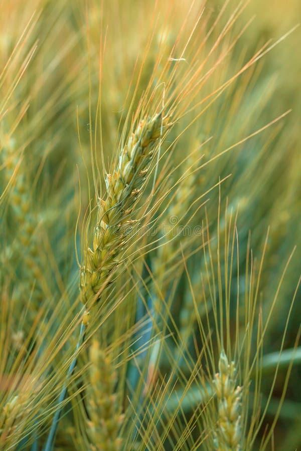 Oídos magníficos de la cebada de la élite en el campo Publicidad de los fertilizantes para los granjeros, las agro-compañías y la fotografía de archivo