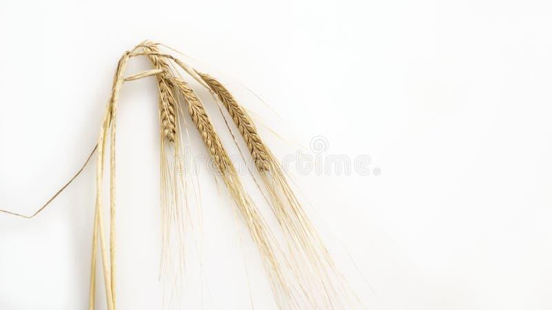 Oídos orgánicos del trigo maduro en el fondo blanco foto de archivo