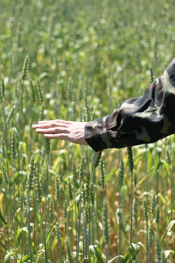 Download Oídos verdes del trigo foto de archivo. Imagen de hierba - 7278758
