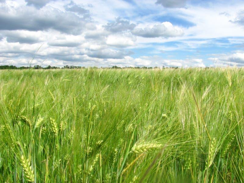 Oídos verdes del trigo en el campo y un cielo azul con las nubes fotos de archivo libres de regalías