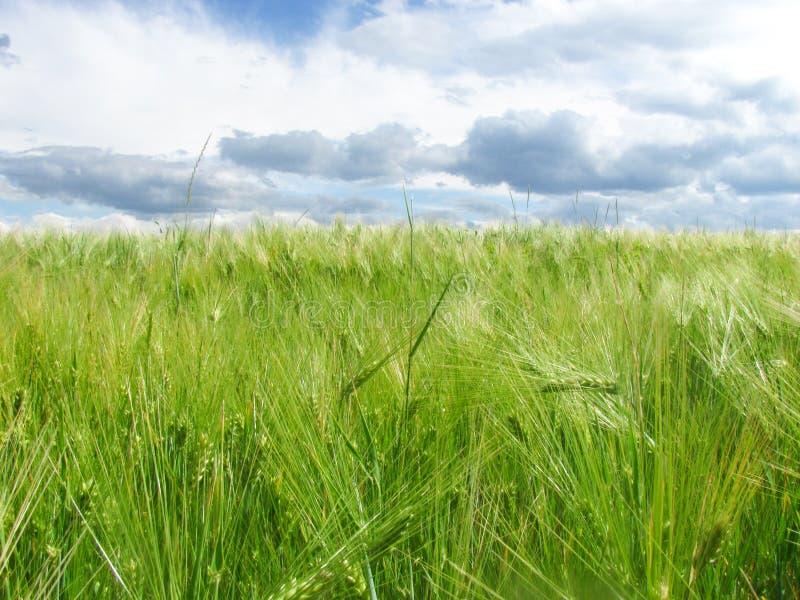 Oídos verdes del trigo en el campo y un cielo azul con las nubes imagen de archivo