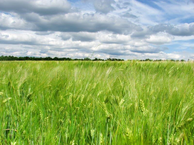 Oídos verdes del trigo en el campo y un cielo azul con las nubes foto de archivo libre de regalías