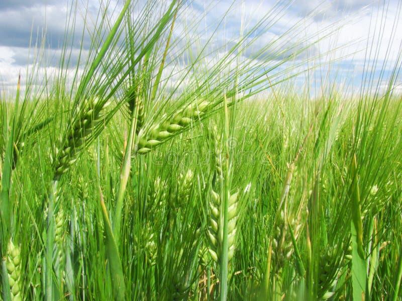 Oídos verdes del trigo en el campo y un cielo azul con las nubes fotografía de archivo libre de regalías