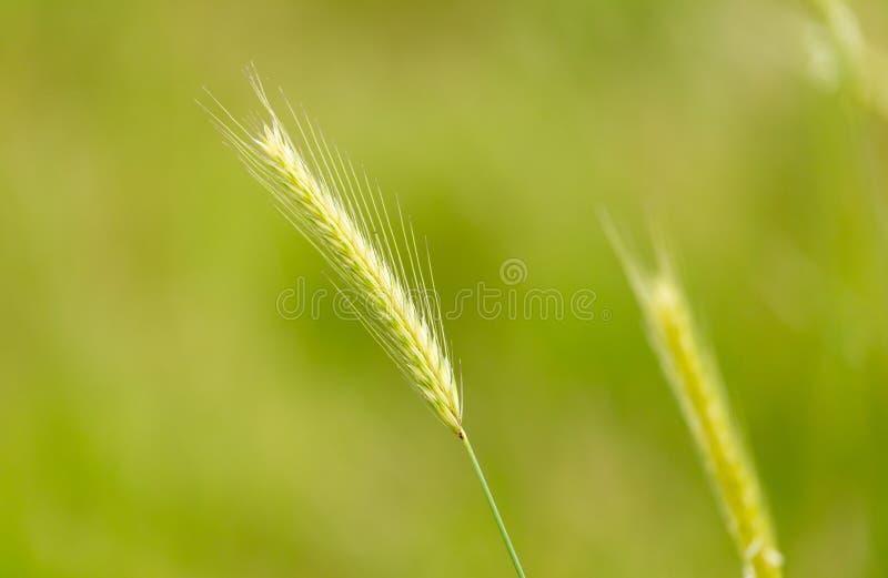 Oídos verdes del trigo en la naturaleza fotos de archivo libres de regalías