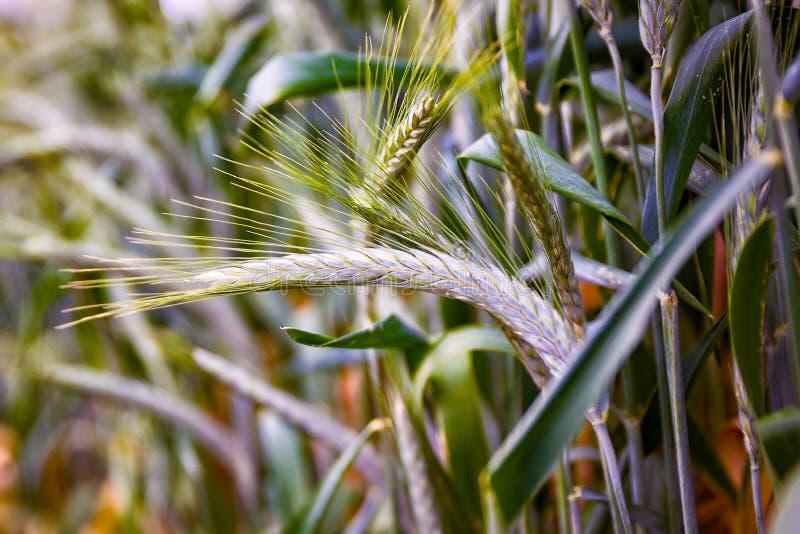 Oídos verdes del trigo del ` del triticale del ` imagen de archivo