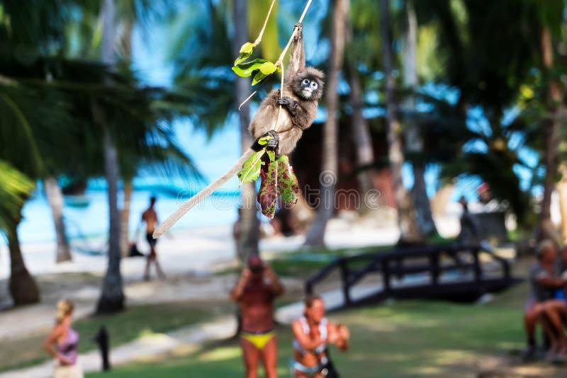 Обезьяна диких животных, лист или Dusky скакать и качание langur на дереве пока туристы смотрят стоковые изображения rf