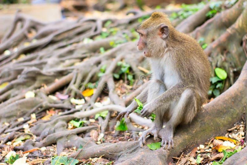 Обезьяна сидя на корне дерева и есть листья стоковое изображение