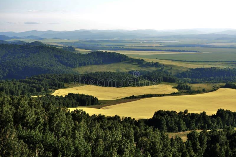 Область Krasnoyarsk района Шарыпово полей лета желтая, Россия стоковая фотография rf