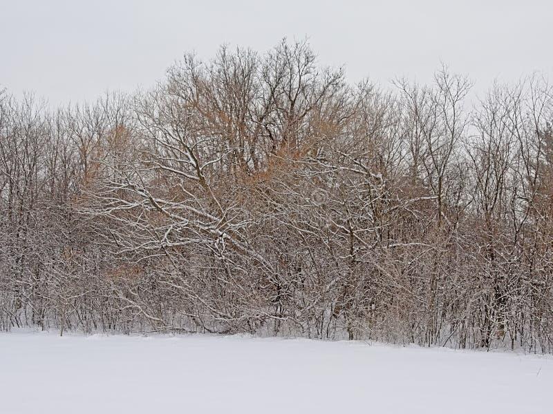 Обнаженные деревья и кустарники в снеге в национальном парке Gatineau стоковые изображения rf