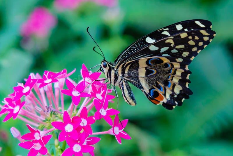 Общая бабочка известки питаясь на lanceolata pentas стоковые изображения rf