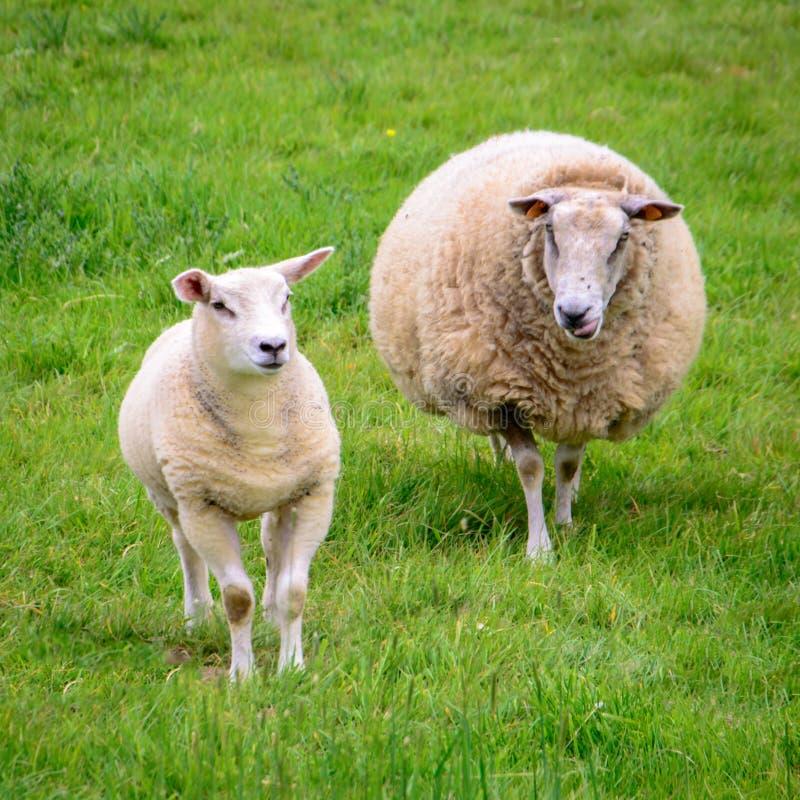 Овцы матери с одной овечкой стоковое фото