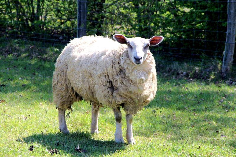 Овцы, овца в поле летом стоковые фотографии rf