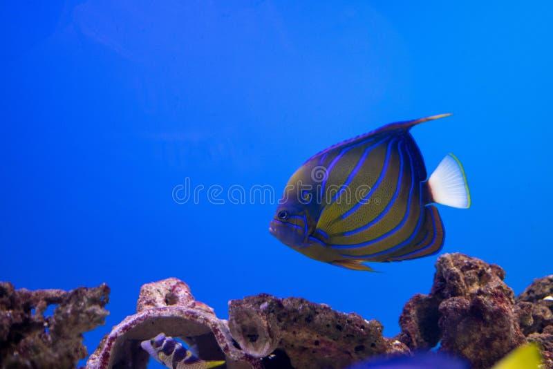Океанские рыбы в аквариуме стоковое фото rf