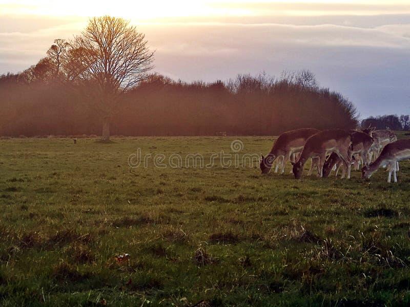 Олени парка Ричмонда визируя в заходе солнца на парке Ричмонда, Лондоне стоковое фото