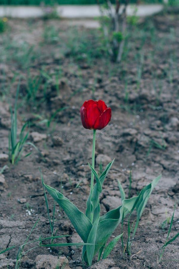 Один красный тюльпан растет в земле в саде, на flowerbed тюльпаны красной весны сада цветков вишни близкие поднимают белизну праз стоковое фото rf