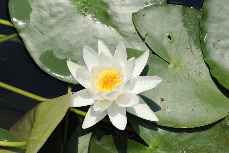 Одиночный белый цветок европейской лилии белой воды стоковое фото rf