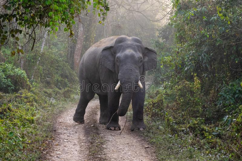 Одичалый слон на дороге стоковая фотография
