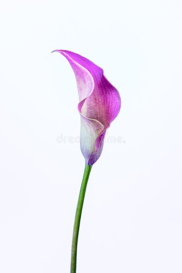 Одна лилия розового Calla на белой предпосылке стоковое фото