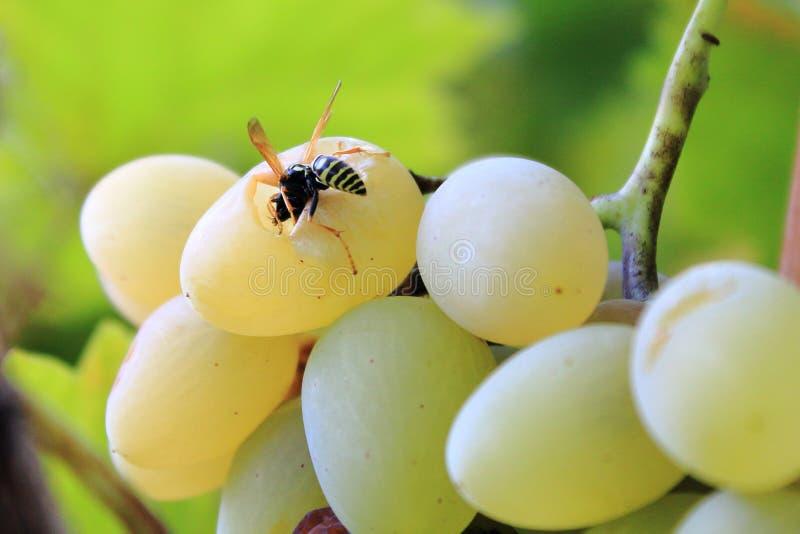 Оса ест виноградины на солнечный летний день стоковая фотография