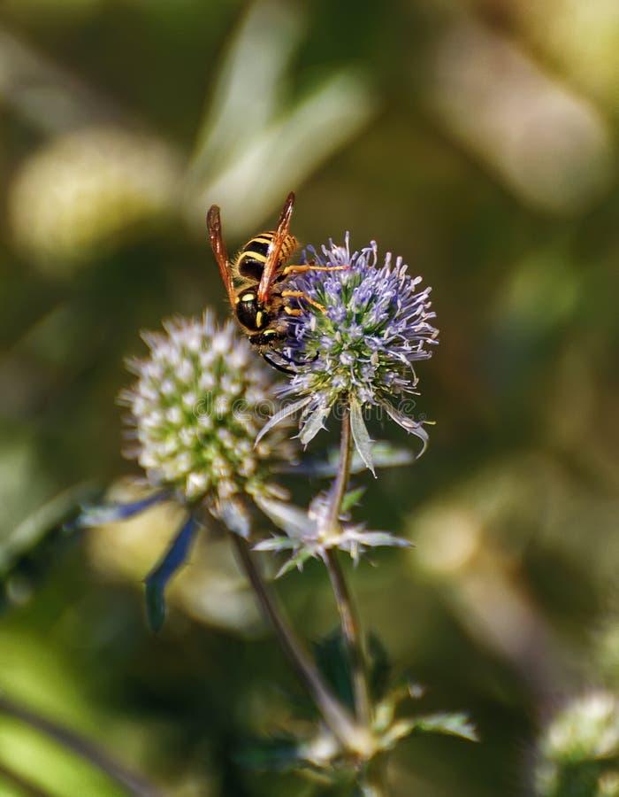 Оса собирая нектар и опыляя eryngium стоковые фото