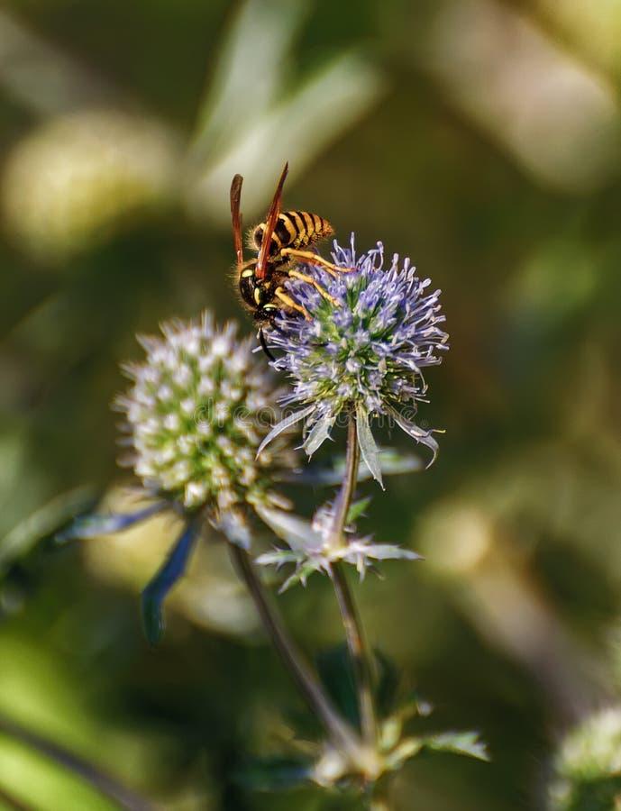 Оса собирая нектар и опыляя eryngium стоковые фотографии rf