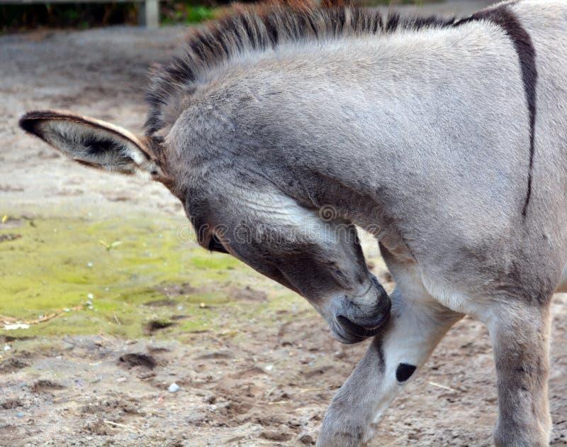 Осел Poitou или ишак Poitou стоковое фото