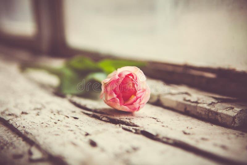 Открытка на день и День матери женщин just rained Розовый тюльпан на старом windowsill стоковые изображения