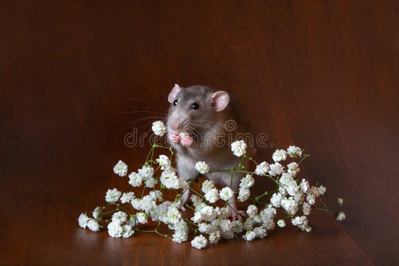 Очаровывая крыса dambo с цветками гипсофилы на коричневой предпосылке Праздничное изображение стоковые фотографии rf