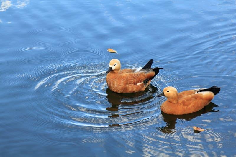 Очень красивые утки плавают в открытом море реки стоковая фотография rf