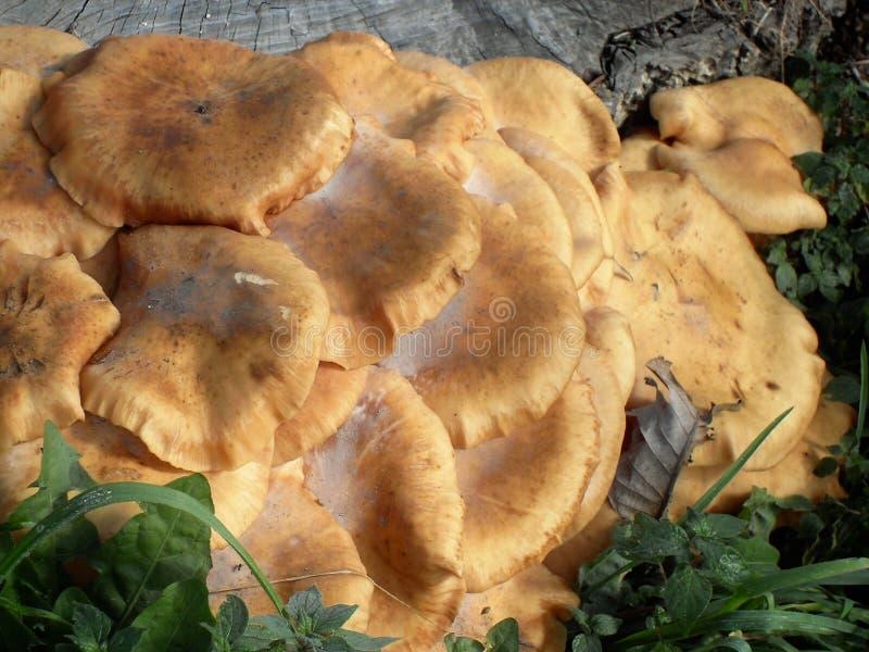 Оранжевые грибы в Италии стоковое изображение rf