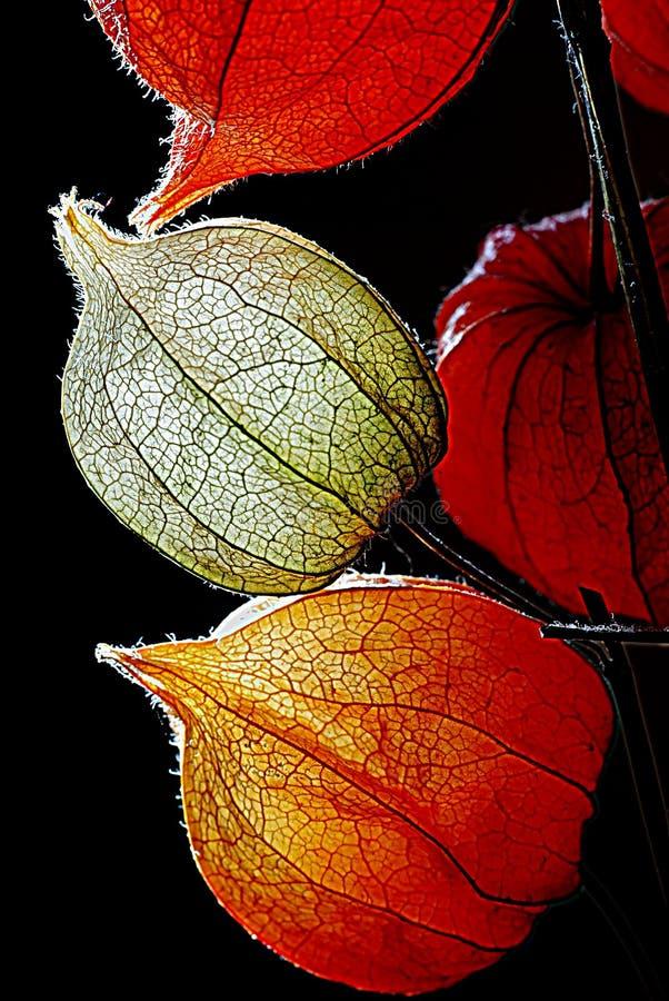 Оранжевые, зеленые и желтые цветки физалиса против темноты стоковые фото