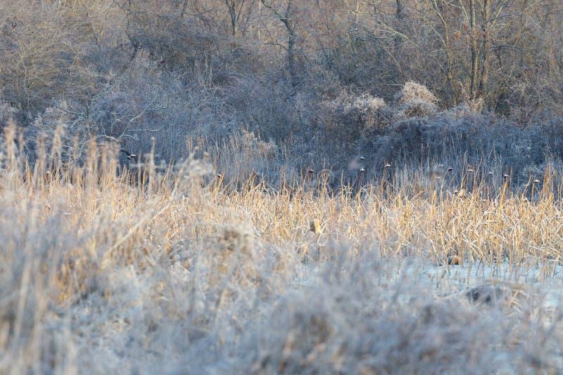 Оранжевые тростники вокруг болота стоковая фотография rf