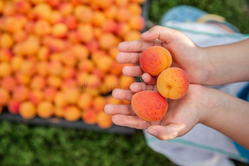 Оранжевый абрикос в руках ребенка Полная коробка зрелого абрикоса Сбор органического плода в саде стоковое изображение rf