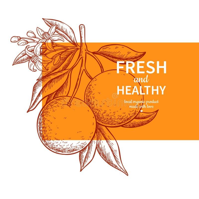 Оранжевый чертеж вектора ярлыка Шаблон цитрусовых фруктов выгравированный иллюстрация вектора