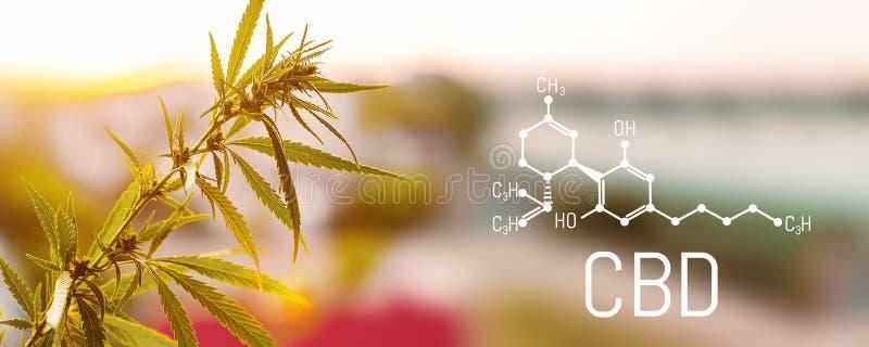 Органические лист CBD конопли Концепция травяной нетрадиционной медицины, масла CBD, pharmaceptical индустрии Экологический и био иллюстрация штока