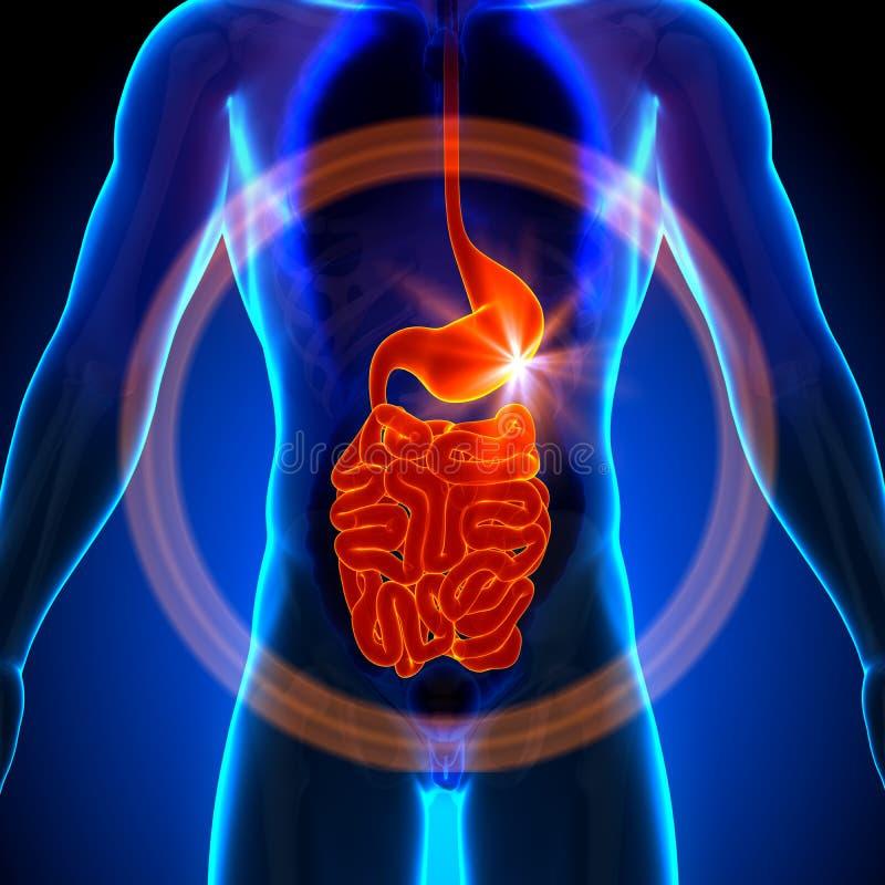 Żołądek, żyłki/Mały jelito promieniowanie rentgenowskie widok - Męska anatomia ludzcy organy - royalty ilustracja