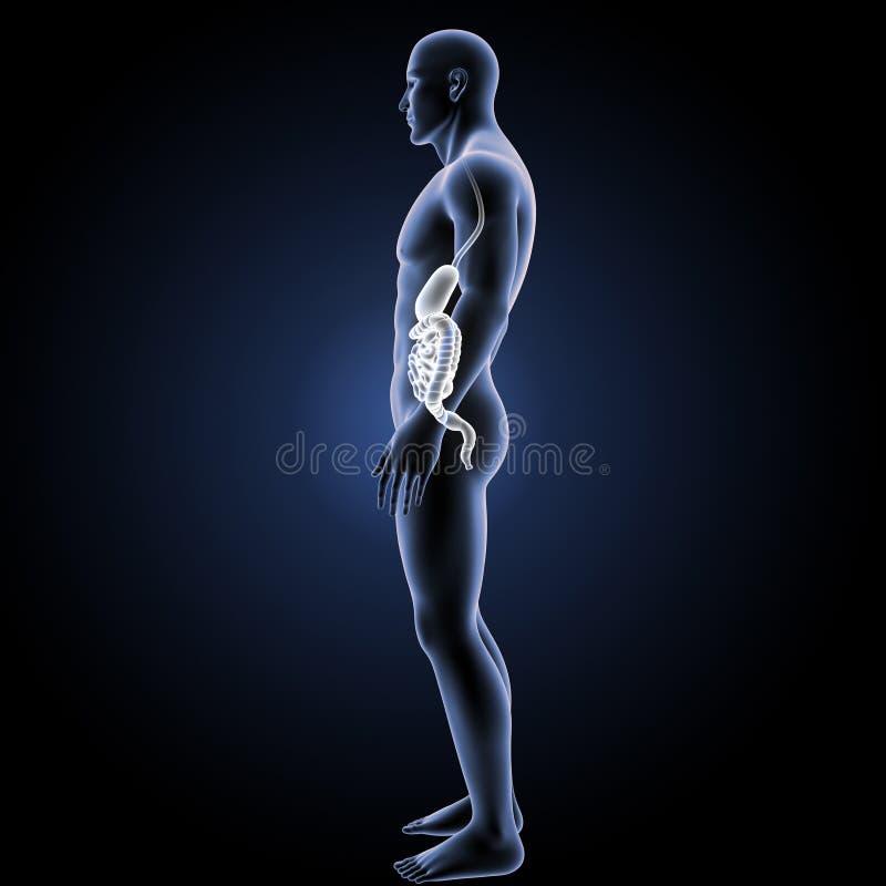 Żołądek i jelito z ciała lateral widokiem ilustracji