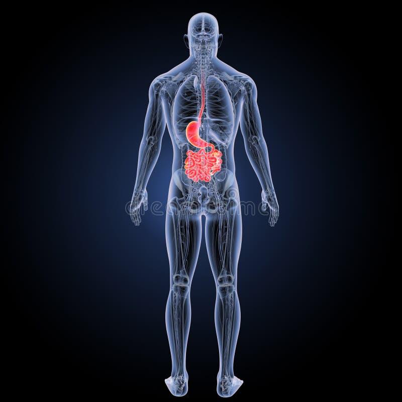 Żołądek i mały jelito z anatomii posterior widokiem ilustracji