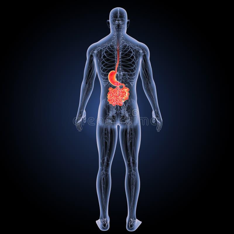 Żołądek i mały jelito z krążeniowego systemu posterior widokiem ilustracja wektor
