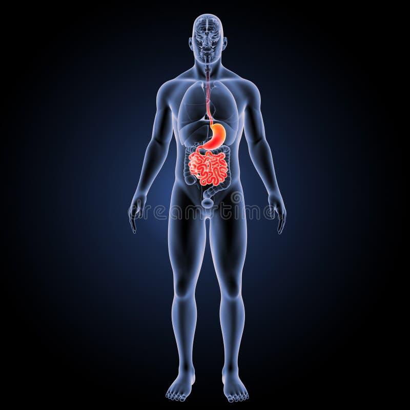 Żołądek i mały jelito z organu anterior widokiem ilustracji