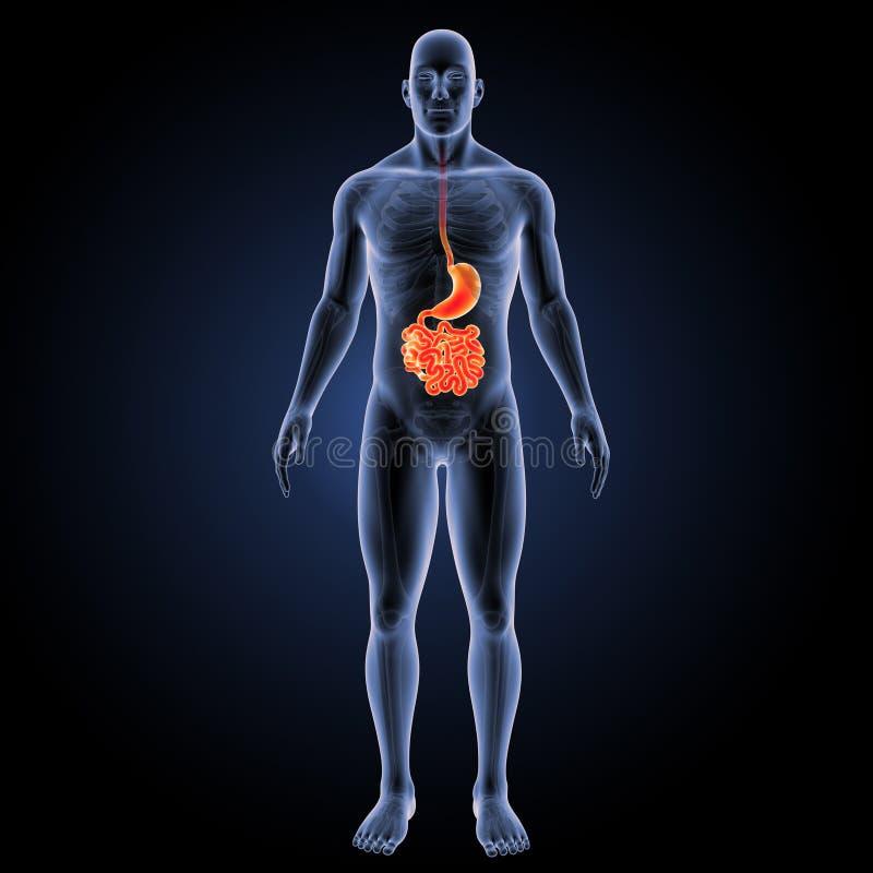 Żołądek i mały jelito z zredukowanym anterior widokiem ilustracji