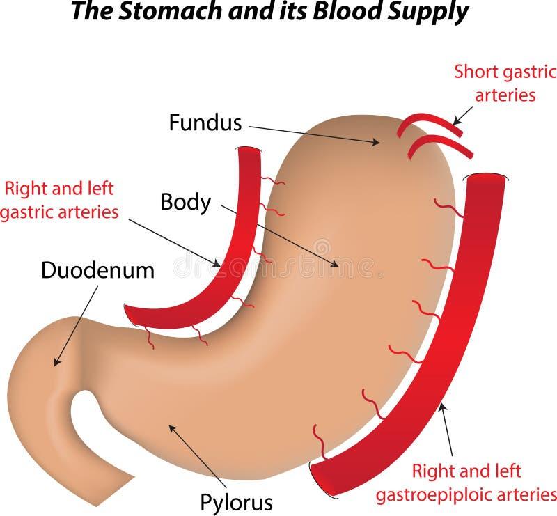 Żołądek i swój Krwionośna dostawa royalty ilustracja