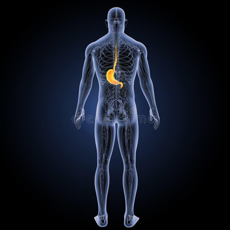 Żołądek z krążeniowego systemu posterior widokiem ilustracji