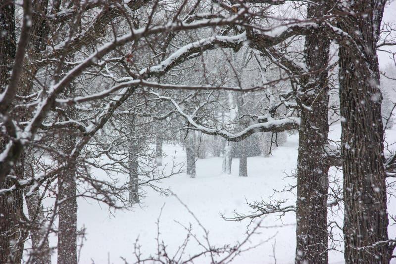 Oślepienie śnieżyca z Starymi Gnarled drzewami zdjęcie royalty free