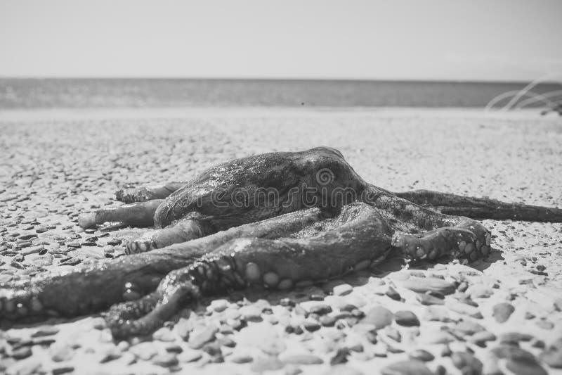 Ośmiornica na skalistej plaży blisko morza, ocean Ośmiornica brać z morza po burzy Ciemna ośmiornica z wody czułki fotografia stock